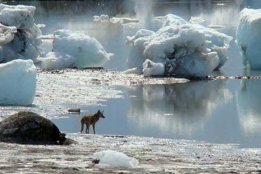 Tsaa Fjord - Icy Bay